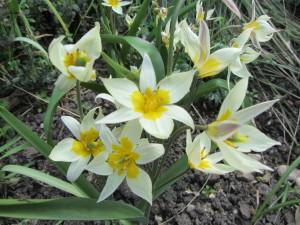 IMG_7613 Tulipa turkestanica
