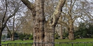 Tree Walk – Lincoln's Inn Fields