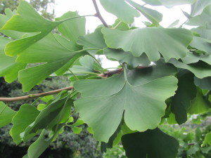 IMG_8789 Ginkgo - Battersea Park Tree Walk Aug 2015