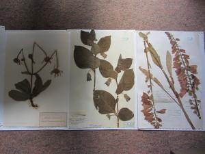 IMG_8817 Arnica, Atropa belladonna, Digitalis