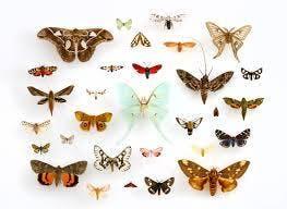 Moth Evening