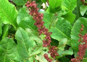 Common British & Irish Plant Families – 4. Goosefoot, Dock & Willow