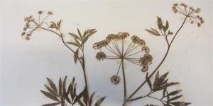 Herbarium Skills:  Handling, management and identification