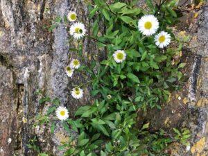 Summer Plant Walks – Balham Pavement Prowl