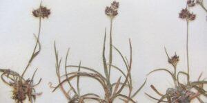 Making Summer Memorable – Making Herbarium Specimens