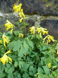 Wildflower Walk – Battersea Rise (St Mary's Cemetery)