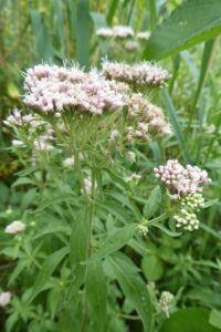 Wetland Flora Walk – Wandsworth Common