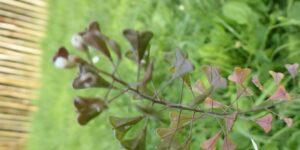 Spring Gardens, Vauxhall – A Plant Walk