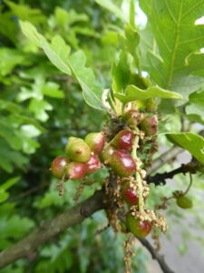 Plant Gall Walk in West Norwood Cemetery